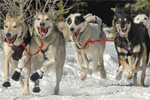 Panorama Dog Sledding